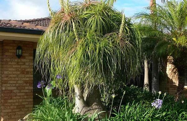 Нолина-дерево-Описание-особенности-виды-и-уход-за-нолиной-7