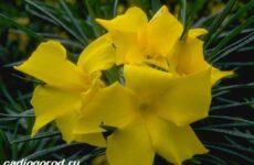 Олеандр цветок. Описание, особенности, виды и уход за олеандром