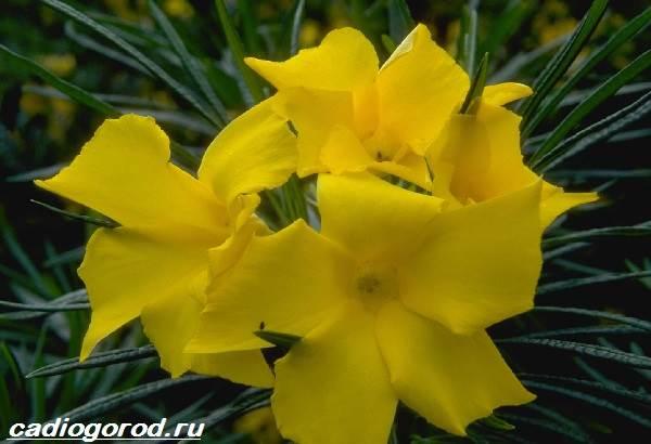 Олеандр-цветок-Описание-особенности-виды-и-уход-за-олеандром-10
