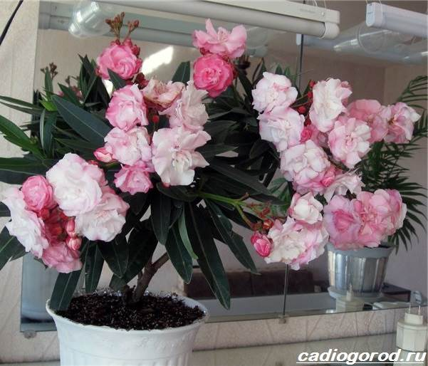 Олеандр-цветок-Описание-особенности-виды-и-уход-за-олеандром-2