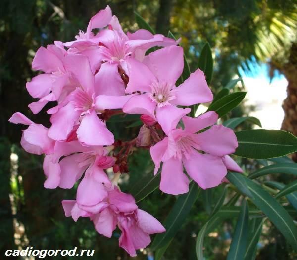 Олеандр-цветок-Описание-особенности-виды-и-уход-за-олеандром-3