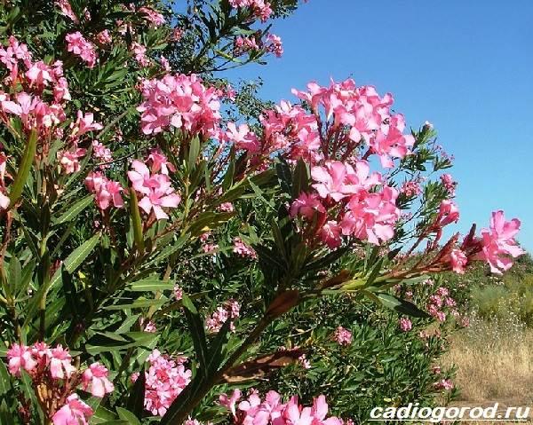 Олеандр-цветок-Описание-особенности-виды-и-уход-за-олеандром-4
