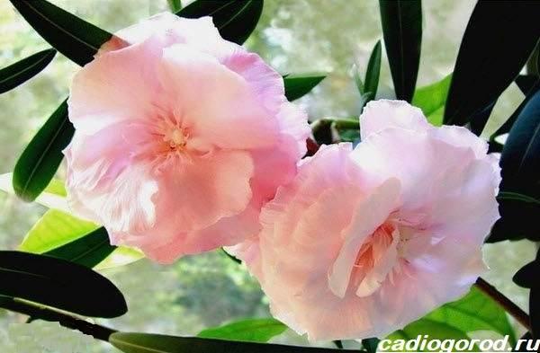Олеандр-цветок-Описание-особенности-виды-и-уход-за-олеандром-7
