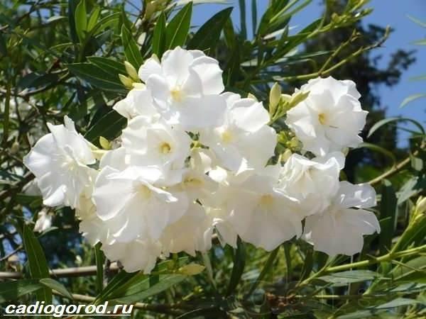 Олеандр-цветок-Описание-особенности-виды-и-уход-за-олеандром-8