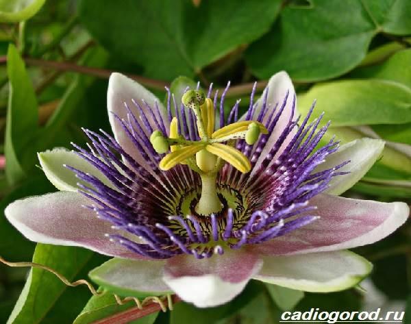 Пассифлора-цветок-Описание-особенности-виды-и-уход-за-пассифлорой-9