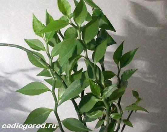 Педилантус-цветок-Описание-особенности-виды-и-уход-за-педилантусом-3
