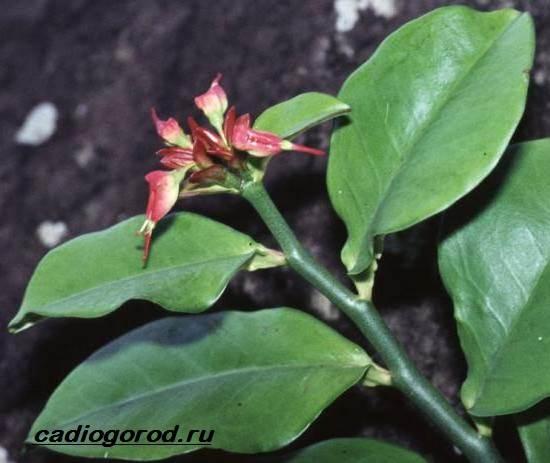 Педилантус-цветок-Описание-особенности-виды-и-уход-за-педилантусом-4