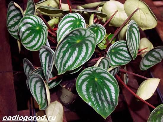 Пеперомия-цветок-Описание-особенности-виды-и-уход-за-пеперомией-10