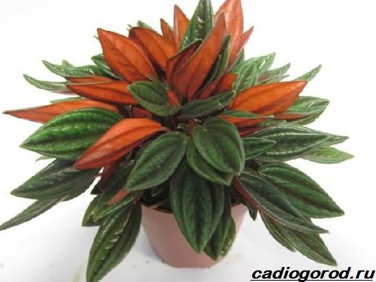 Пеперомия-цветок-Описание-особенности-виды-и-уход-за-пеперомией-11