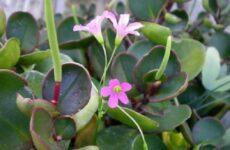 Пеперомия цветок. Описание, особенности, виды и уход за пеперомией