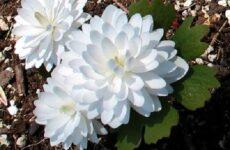 Сангвинария цветок. Описание, особенности, виды и уход за сангвинарией