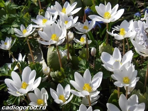 Сангвинария-цветок-Описание-особенности-виды-и-уход-за-сангвинарией-2