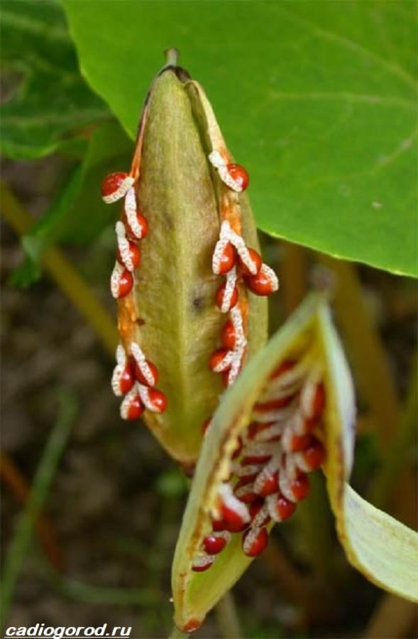 Сангвинария-цветок-Описание-особенности-виды-и-уход-за-сангвинарией-5
