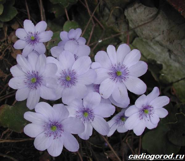 Сангвинария-цветок-Описание-особенности-виды-и-уход-за-сангвинарией-6