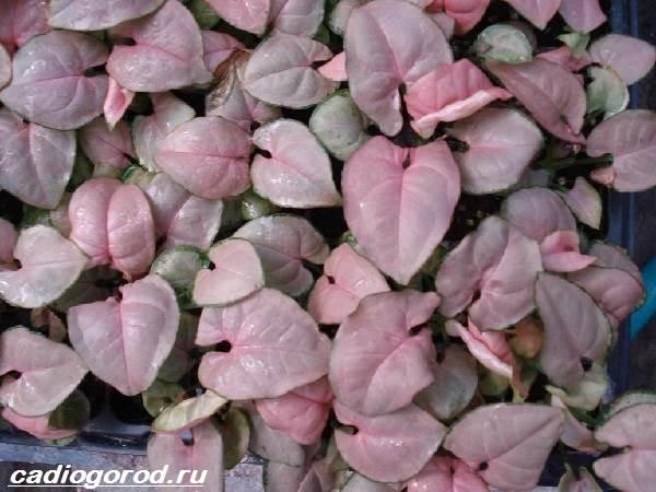Сингониум-цветок-Описание-особенности-виды-и-уход-за-сингониумом-8
