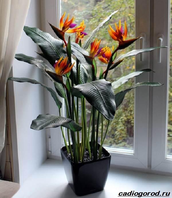 Стрелиция-цветок-Описание-особенности-виды-и-уход-за-стрелицией-4