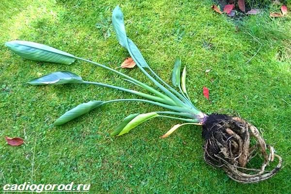 Стрелиция-цветок-Описание-особенности-виды-и-уход-за-стрелицией-6