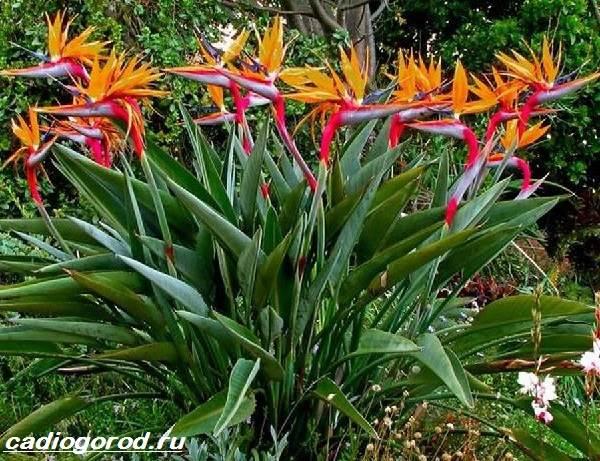 Стрелиция-цветок-Описание-особенности-виды-и-уход-за-стрелицией-7