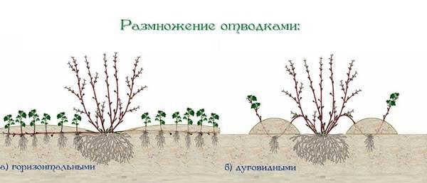 Вейгела-кустарник-Описание-особенности-виды-и-уход-за-вейгелой-23