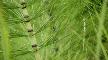 Хвощ полевой трава. Описание, особенности, виды и свойства хвоща полевого