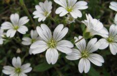 Ясколка войлочная цветок. Описание, особенности, виды и уход за ясколкой войлочной