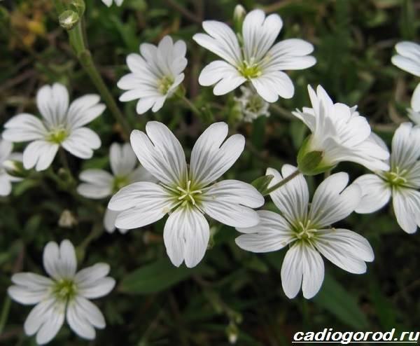 Ясколка-войлочная-цветок-Описание-особенности-виды-и-уход-за-ясколкой-войлочной-2
