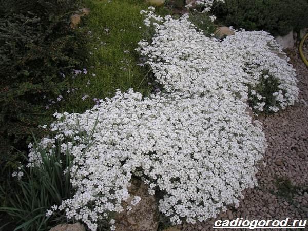 Ясколка-войлочная-цветок-Описание-особенности-виды-и-уход-за-ясколкой-войлочной-4