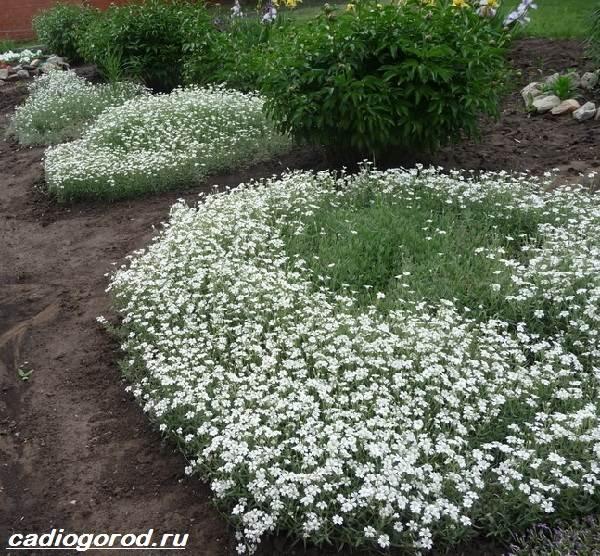 Ясколка-войлочная-цветок-Описание-особенности-виды-и-уход-за-ясколкой-войлочной-5