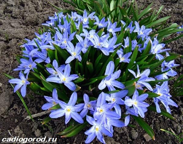Зефирантес-цветок-Описание-особенности-виды-и-уход-за-зефирантесом-10