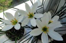 Зефирантес цветок. Описание, особенности, виды и уход за зефирантесом