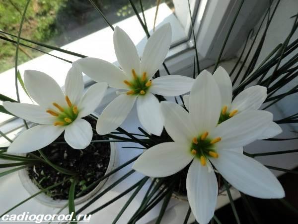 Зефирантес-цветок-Описание-особенности-виды-и-уход-за-зефирантесом-1