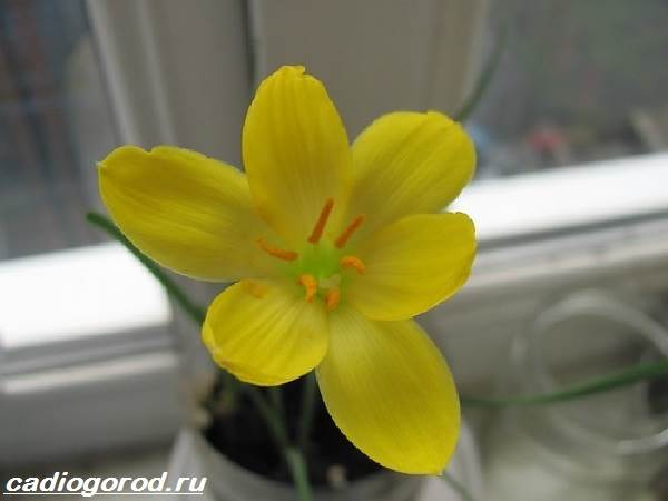 Зефирантес-цветок-Описание-особенности-виды-и-уход-за-зефирантесом-5