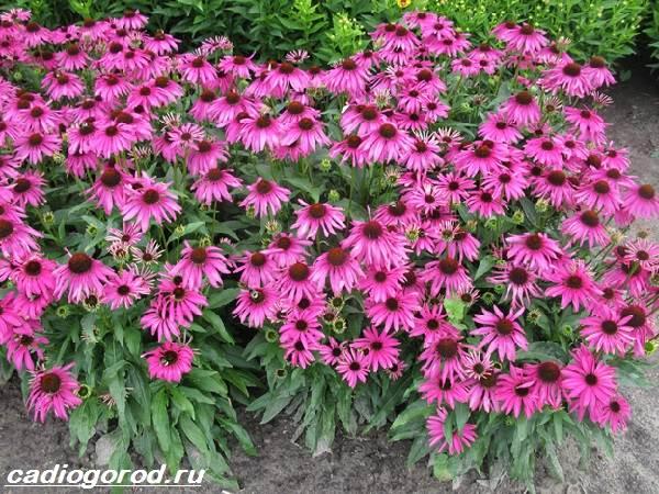 Брахикома-цветы-Описание-особенности-виды-и-уход-за-брахикомой-1