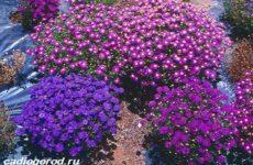 Брахикома цветы. Описание, особенности, виды и уход за брахикомой