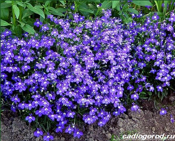 Брахикома-цветы-Описание-особенности-виды-и-уход-за-брахикомой-5