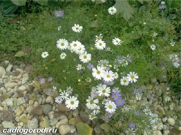 Брахикома-цветы-Описание-особенности-виды-и-уход-за-брахикомой-9
