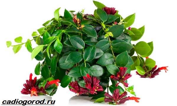 Эсхинантус-цветок-Описание-особенности-виды-и-уход-за-Эсхинантусом-1