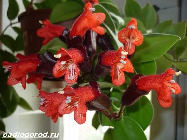 Эсхинантус-цветок-Описание-особенности-виды-и-уход-за-Эсхинантусом-10