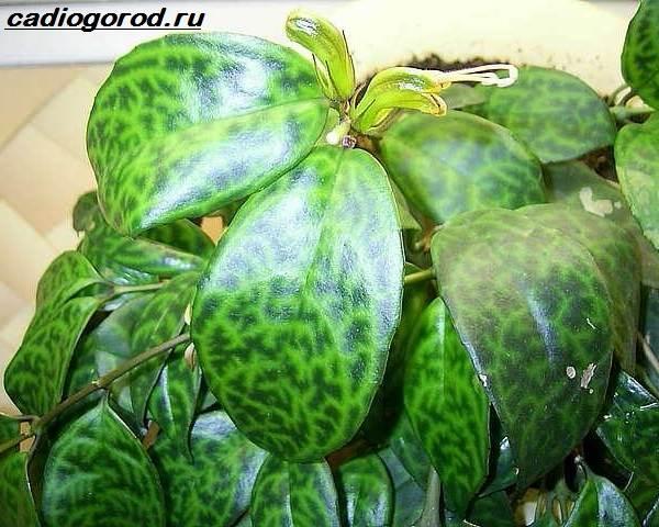 Эсхинантус-цветок-Описание-особенности-виды-и-уход-за-Эсхинантусом-3
