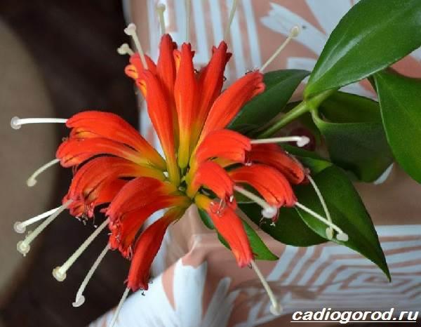 Эсхинантус-цветок-Описание-особенности-виды-и-уход-за-Эсхинантусом-7