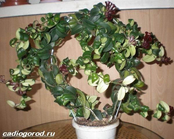 Эсхинантус-цветок-Описание-особенности-виды-и-уход-за-Эсхинантусом-8