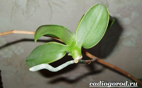 Фаленопсис-цветок-Описание-особенности-виды-и-уход-за-фаленопсисом-10