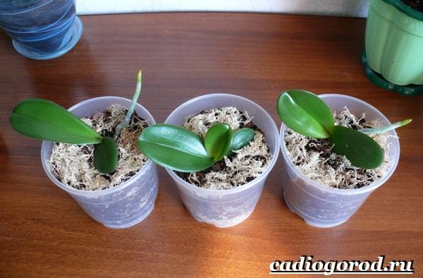 Фаленопсис-цветок-Описание-особенности-виды-и-уход-за-фаленопсисом-13
