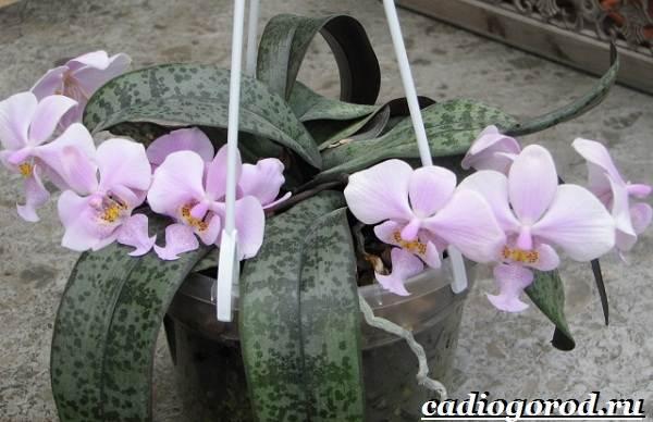 Фаленопсис-цветок-Описание-особенности-виды-и-уход-за-фаленопсисом-17