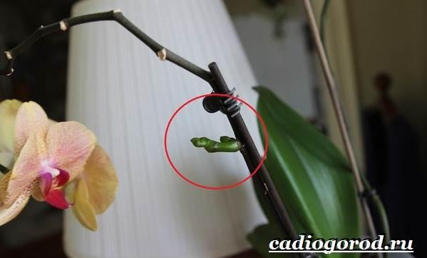Фаленопсис-цветок-Описание-особенности-виды-и-уход-за-фаленопсисом-21
