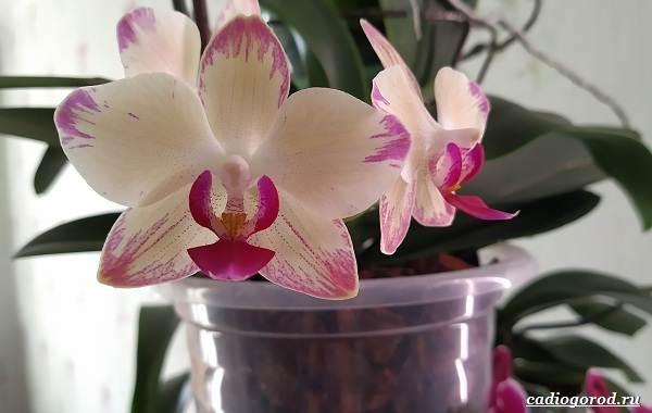 Фаленопсис-цветок-Описание-особенности-виды-и-уход-за-фаленопсисом-30
