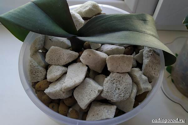 Фаленопсис-цветок-Описание-особенности-виды-и-уход-за-фаленопсисом-33