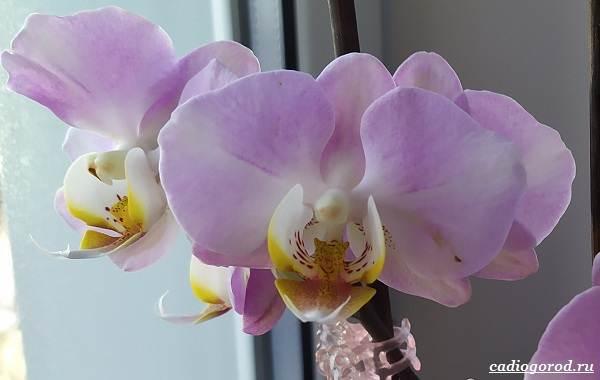 Фаленопсис-цветок-Описание-особенности-виды-и-уход-за-фаленопсисом-34
