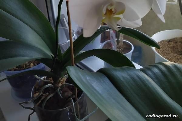 Фаленопсис-цветок-Описание-особенности-виды-и-уход-за-фаленопсисом-36