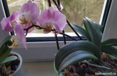 Фаленопсис цветок. Описание, особенности, виды и уход за фаленопсисом